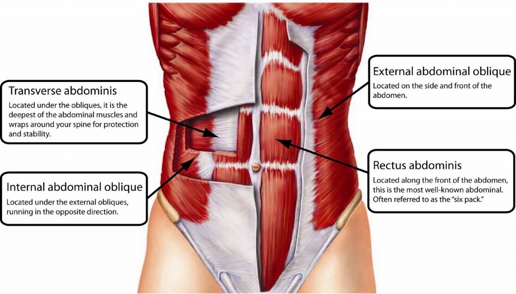 A layered anatomical drawing detailing the abdominal muscles.