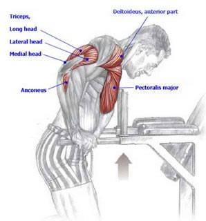 An anatomical drawing of the muscles worked when performing dips.