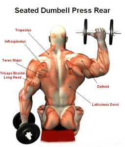 Seated DB Overhead Press - Wrestler-Power.com Overhead Press Muscles Worked